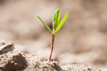 New life in the spring, young leaves of a plant growing out of the dry soil in the garden or field. Standard-Bild