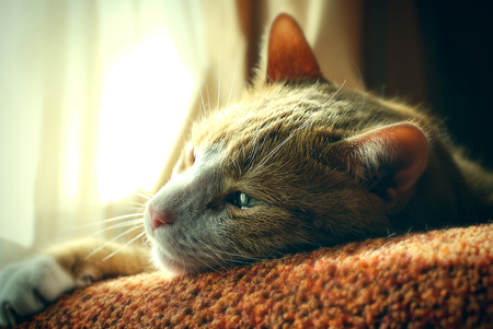 white fur: Very Sad Red Cat. Nostalgy. Sunny Day. Stock Photo