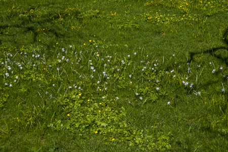 Green grass background on a field  with white and yellow flowers.