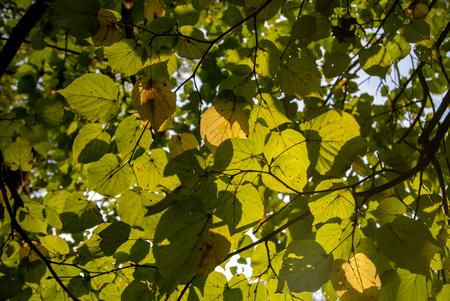 Autumn Yellow Oak Leafs on the tree