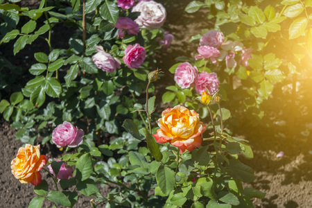 Orange and Purple Roses in the Garden.