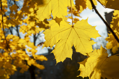 Autumn Yellow Leaves on a tree in sunny day.