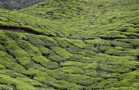 Tea Plantation in South India