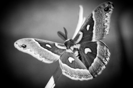 symetry: Black and White Cecropia Moth Stock Photo