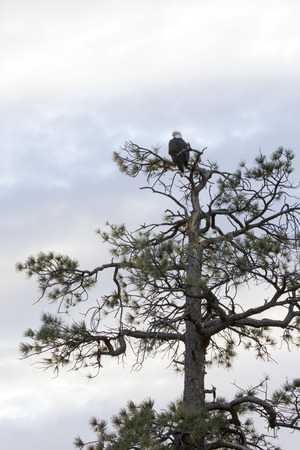 ponderosa pine: bald eagle perched in ponderosa pine tree Stock Photo