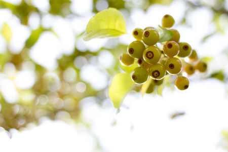 crab apple tree: crab apples hanging from tree branch Stock Photo