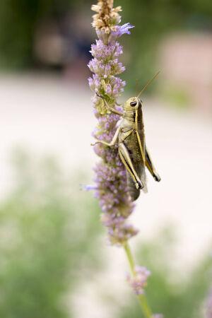 violette fleur: sauterelle sur fleur pourpre