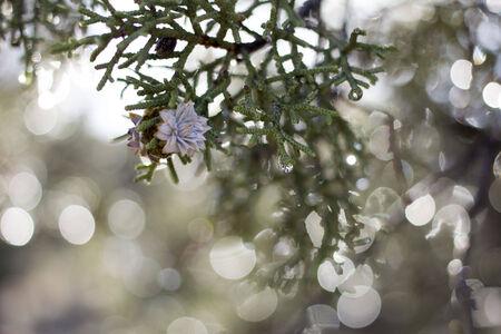 a juniper: enebro flor en el �rbol de enebro