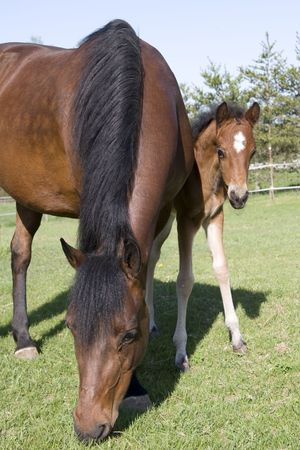 Young colt hiding behind mare in pasture Stock Photo