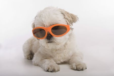 Shih Tzu puppy wearing orange sunglasses Stock Photo - 5824264