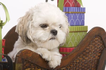 shih: Shih zhu puppy in a wooden Christmas sleigh with presents surrounding him Stock Photo
