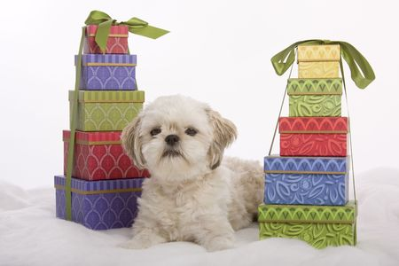 Shih zhu puppy sitting between two stacks of boxed Christmas presents