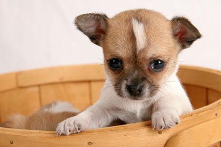 치와와 강아지 스톡 콘텐츠