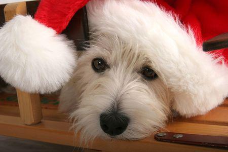 Santa Westie