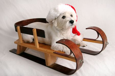 dog sled: Santa dog Stock Photo