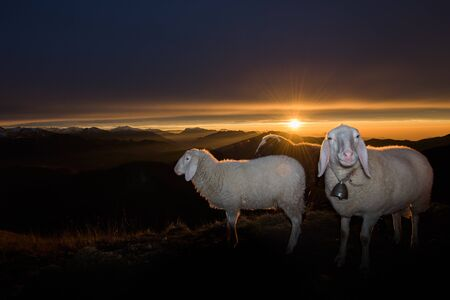 sheep on sunset background
