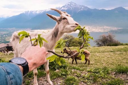 goat eats from the hands of the traveler Banco de Imagens