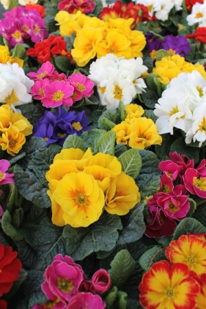 colorful primroses  photo