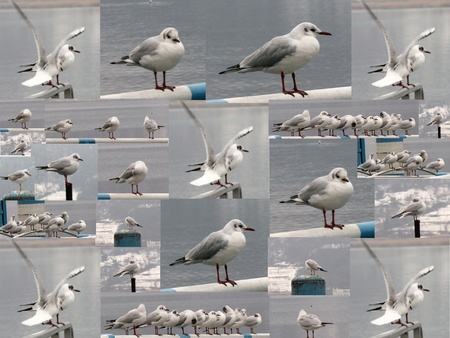 collage of gulls on the lake Stock Photo - 18546641