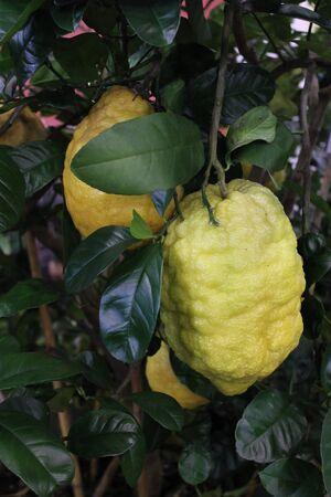 citrons: citrons and lemons Stock Photo