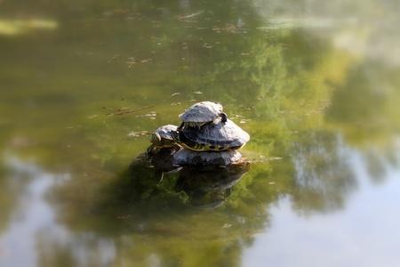 turtles on lake photo