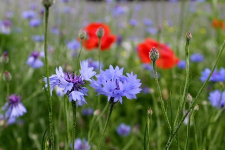 cornflowers and poppies photo