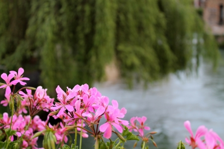 geraniums on the river photo
