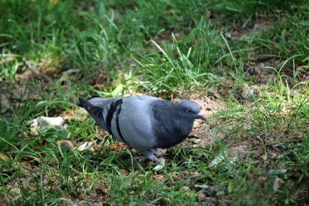 pigeon on the grass photo