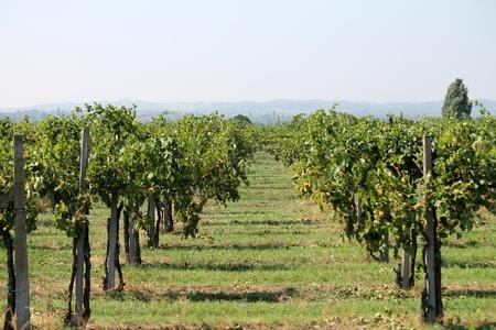 landscape of vineyard photo
