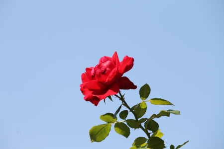 red roses on blue sky background photo