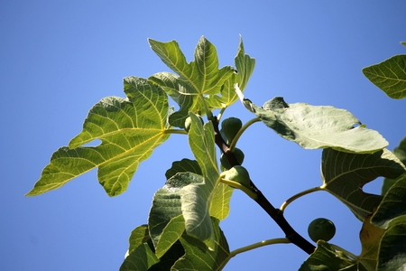 arbre: ripe figs on the tree
