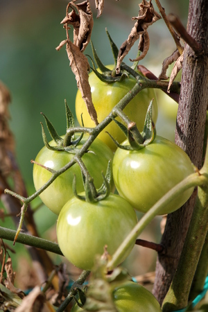green tomatoes in garden photo
