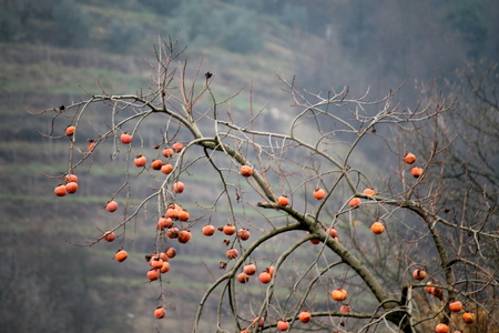 persimmon tree: persimmon tree in winter