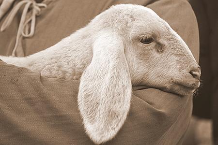 lamb with shepherd photo