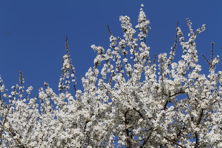 trees with white flowers in spring photo
