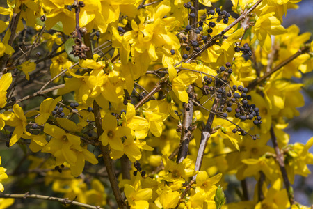 yellow forsythia in spring photo