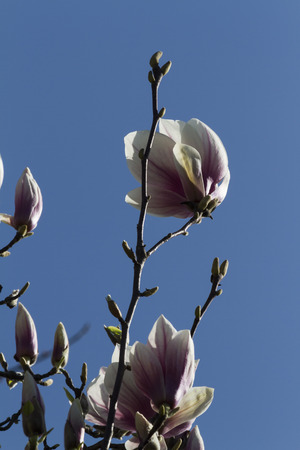 blooming magnolia flowers in spring photo
