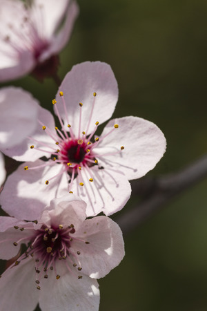 peach blossom in spring photo