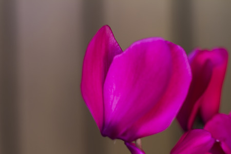 cyclamen purple in spring photo