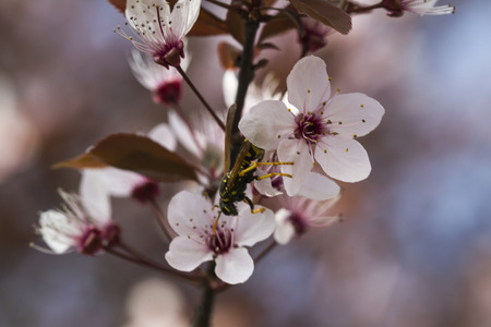 peach blossom whit bee photo