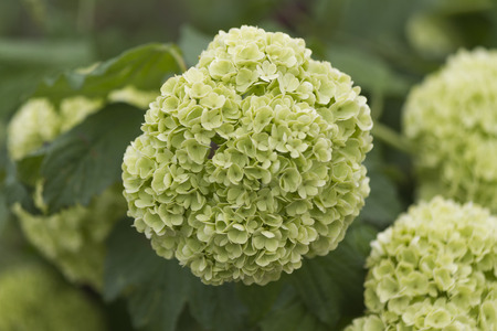 hydrangea in the garden photo