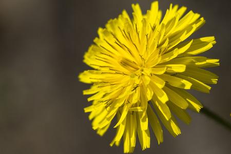 yellow dandelion in spring photo