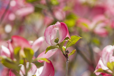 magnolia in the garden photo