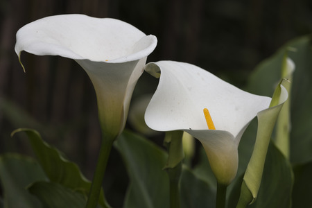 lily blooming in the garden photo