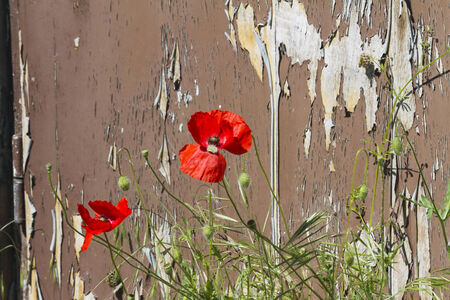 abandoned house with poppies photo