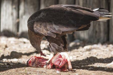 ooking: bird of prey that eat meat Stock Photo
