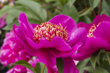 peony in bloom photo