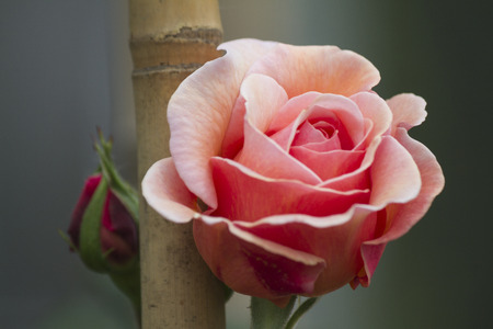 roses in the garden photo