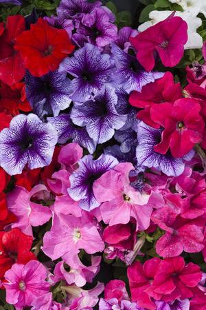 primroses in spring photo
