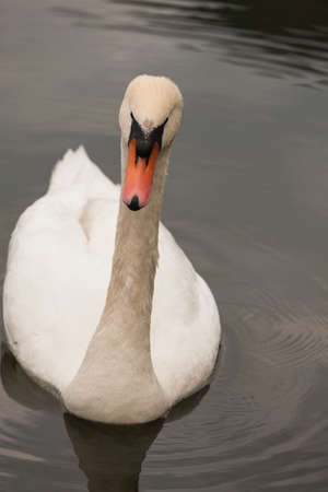 swan on the lake photo